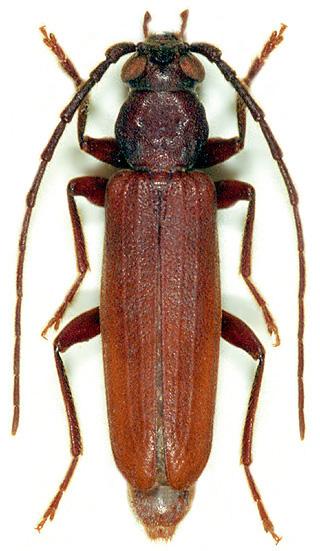 chrząszcze w drewnie