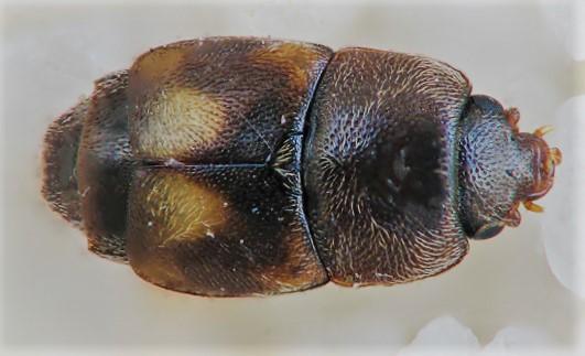 owad Przykrótek półskrzydły