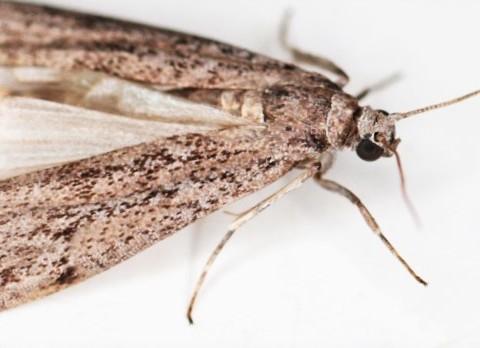 owad mklik mączny